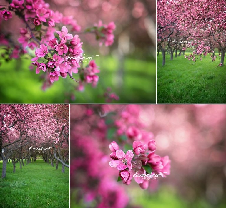 ottawa family photographer, cherry blossoms, spring photos
