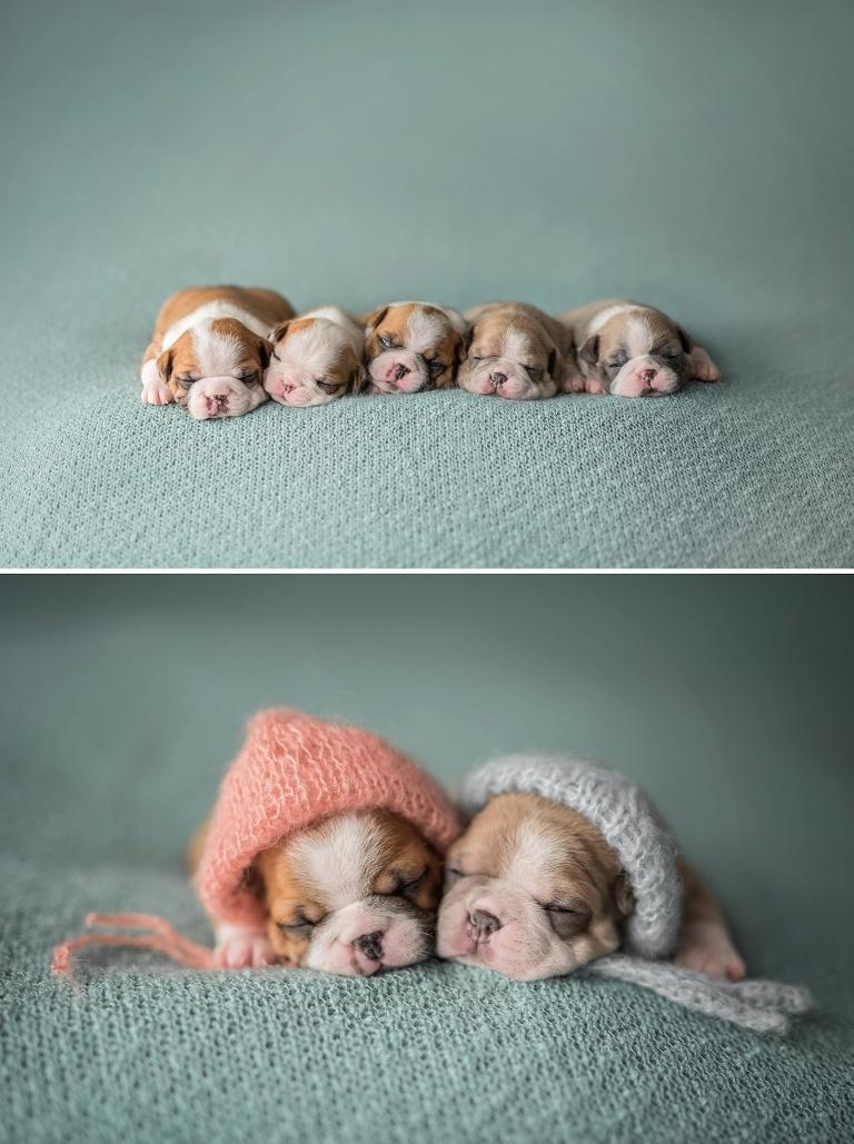 puppies, ottawa puppy photographer, ottawa pet photographer, ottawa baby photographer, ottawa newborn photographer